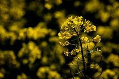 Viewfinder-10 (sven.vansantvliet) Tags: blue shadow sky flower colors yellow fleurs jaune garden drops weide couleurs tuin schaduw geel bloem druppel tulp kleuren tullip paardebloem boterbloem pisbloem lentebloesembloemenbijhuis