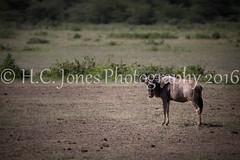 IMG_3598-2 (hcjonesphotography) Tags: africa park elephant black tree nature birds animal umbrella tanzania monkey cub rainbow buffalo jackal eagle crane outdoor lion tent lodge lizard ostrich safari ngorongoro national leopard crater rhino lions zebra cheetah giraffe hippo impala serengeti hyena maasai hornbill stork mongoose wildebeest warthog manyara tarangire dikdik tented