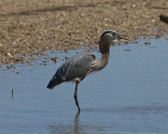 Great Blue Heron eating a Blue Crab (5 of 5)
