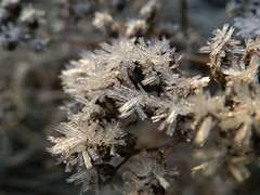 Frozen flower (huoneenhaltijakissa) Tags: november flowers autumn flower macro nature leaves closeup frozen leaf frostwork