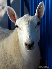 cute sheep (Jen MacNeill) Tags: wool animals sheep pennsylvania farm ears fair agriculture elizabethtown farmshow macneill gypsymarestudios jennifermacneilltraylor