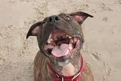 cape may (fiver753) Tags: ocean beach wet smile tongue mouth happy shark newjersey big teeth joy pitbull molly capemay