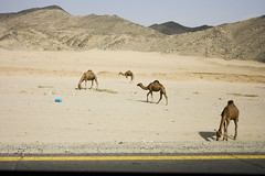 (Lewis Gregory) Tags: road mountains canon desert saudi jeddah camels 400d