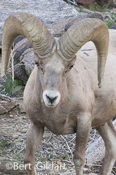 Head and horns adapted to withstand immense blows