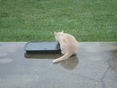 Video, Cat, the kitty from next door, 5 December 2011 7946 (edgarandron - Busy!) Tags: cats cat feline tabby kitty kitties tabbies neighbor bufftabby