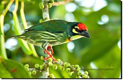 beautiful nature.. (tank msia) Tags: coppersmith barbet