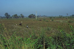 Egyptian cotton fields (Yvon from Ottawa) Tags: harvest egypt cotton egyptian fields agriculture harvesting handpicking