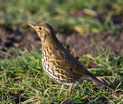SONG THRUSH at STRUMPSHAW FEN, DRUNK? (jdoakey) Tags: uk greatbritain england brown detail bird eye beautiful grass animal closeup woodland wings pretty day breast close feeding britain song stripes gorgeous sony great norfolk wing beak feathers feather stunning norwich british lovely alpha dslr favourite fen animalplanet striped oakley thrush longlegs songthrush strumpshaw a55 featheryfriday thewildlife strumpshawfen flickraward dslt flickraward sonya55 theinspirationgroup