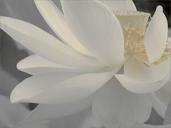 White Lotus Flower Petals - DSIR2407-1000 (Bahman Farzad) Tags: white flower yoga petals peace lotus relaxing peaceful meditation therapy lotuspetal languageofflowers lotuspetals