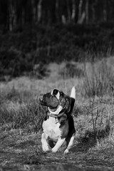Siasaurus (John.Thai.) Tags: beagle dogs nature action running strong sia thelittledoglaughed