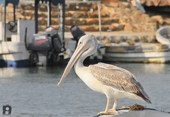 Pelican Beautiful |   (Abdulrahman AlShetwi) Tags: sea bird beach animal canon 500d      abdulrahman   alshetwi