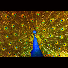 Dance of peacock (-clicking-) Tags: lighting light nature beautiful beauty birds animals zoo wings pattern natural details feathers peacock vietnam lovely colorphotoaward chimcng bestcapturesaoi doubleniceshot tripleniceshot blinkagain