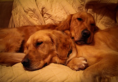 Sleepy Puppies (kim.panian) Tags: sleeping dogs hugging couch cuteness beamer macho goldenretrievers