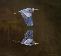 Flight Reflection 2 (raineys) Tags: california reflection bird nature wings wildlife flight greatblueheron elkhornslough specanimal