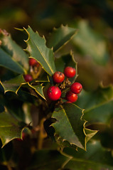 300 ~ holly (Teresa Teixeira) Tags: christmas holly azevinho teresateixeira