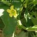 "Ecballium elaterium (L.) A. Richard, Cucurbitaceae • <a style=""font-size:0.8em;"" href=""http://www.flickr.com/photos/62152544@N00/6596745595/"" target=""_blank"">View on Flickr</a>"