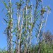 "Arundo donax L., Poaceae • <a style=""font-size:0.8em;"" href=""http://www.flickr.com/photos/62152544@N00/6596767367/"" target=""_blank"">View on Flickr</a>"