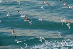 Volo di gabbiani (Seagulls fly) (fnsp) Tags: sea seagulls birds lumix fly mare panasonic uccelli gabbiani volare fz150