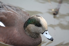 Bald Pate (ricmcarthur) Tags: bird nature duck widgeon baldpate americanwidgeon feathertfriday