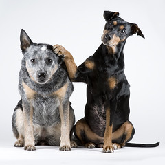 01 (Gipsen) Tags: white dogs studio australiancattledog gips kilo germanpinscher highqualitydogs highqualityanimals