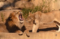 Lions (Craig Salvas - Simba on 17th) Tags: cub lion craig pantheraleo simbaon17th salvas 111231cd