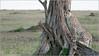 Cheetah in the North Serengeti (Raymond J Barlow) Tags: cat tanzania nikon wildlife adventure safari cheetah d300 200400vr raymondbarlowtours