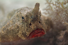 Shortnose Batfish (Seth Patterson) Tags: ocean sea fish animals mexico wildlife yucatan northamerica caribbean peninsula sian quintanaroo kaan puntaallen ogcocephalusnasutus shortnosebatfish