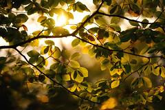 autumn glow (Dennis_F) Tags: autumn light sun fall nature colors leaves zeiss sunrise germany landscape deutschland schweiz switzerland leaf colorful glow bokeh sony herbst natur sachsen fullframe dslr blatt landschaft sonne bltter sonnenaufgang bunt saxon farben 135mm morgens schsische schsischeschweiz 13518 a850 sonyalpha sonydslr vollformat cz135 zeiss135 dslra850 sonya850 sonyalpha850 alpha850 sony135 sonycz135
