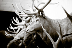 Hunter Time for Beer (Thomas Hawk) Tags: california bw usa animal bar restaurant unitedstates unitedstatesofamerica taxidermy deer riovista solanocounty fostersbighorn natureshand