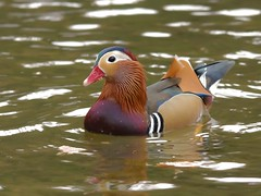 Mandarin Duck (Alistair Prentice.) Tags: county ireland winter irish bird newcastle coast duck asia birding sigma down 150 coastal co mandarin 500 prentice northern birder watcher kx twitcher