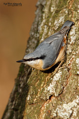 Eurasian Nuthatch, Sitta europaea caesia. (Nigel Blake, 12 MILLION...Yay! Many thanks!) Tags: bird up birds closeup canon eos is close tube extension 12mm blake eurasian nuthatch nigel converter 300mmf28 europaea 14x sitta caesia 1dsmkiii