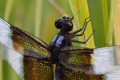 Two Seconds in the Wind (Michael Scott Schneider) Tags: longexposure macro insect dragonfly odonata sigma150