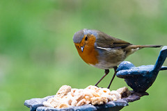 you couldn't possibly pass me a spoon and some milk could you please? (AlexTurton) Tags: bird 120 robin canon garden funny humor sigma 400 7d canon7d sigma120400