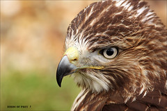 Bird of Prey1