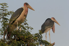 Birds of East Africa - Marabou Stork (peace-on-earth.org) Tags: africa bird east species uganda uga stork marabou peaceonearthorg