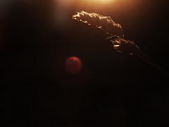 Wheat / Grass (YellowNoodles) Tags: autumn sunset macro fall field grass wheat lensflare 2011
