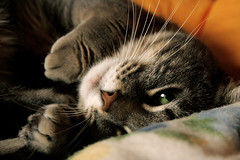 Gaudì (NataliaPetPhotographer) Tags: portrait pet cats cat petphotographer