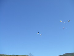 Snow Geese in Flight 1 (D. S. Hałas) Tags: canada bird quebec aves québec halas anatidae snowgoose anseriformes ansercaerulescens chencaerulescens chordata sarcopterygii hałas saintjoachim réservenationaledefauneducaptourmente captourmentenationalwildlifearea