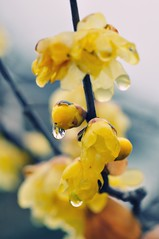 Winter Sweet (hidesax) Tags: morning winter flower rain japan nikon exposure raw sweet neighborhood single smell saitama raindrop wintersweet ageo d90 tamronspaf90mmf28dimacro11 nikond90 hidesax