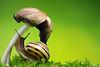 Reaching High (Vie Lipowski) Tags: nature mushroom wildlife snail toadstool detritivore