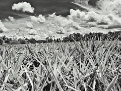 pineapple plantation (zbigphotography (1M+ views)) Tags: trees sky bw plants monochrome clouds landscape blackwhite philippines mindanao cagayandeoro pineappleplantation canong12