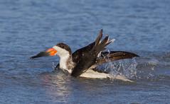 """Shake it up Baby"" (arlenekoziol) Tags: bird perfect preening bathing arlenekoziol"