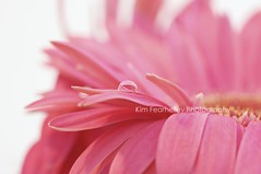 There is beauty in simplicity. (KimFearheiley) Tags: pink waterdrop drop gerbera kimfearheileyphotography