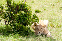 Lioness about to pounce... (Adam_BT) Tags: kenya wildlife lion lioness masaimara leopanthera flickrbigcats