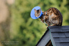 Kitty Hell (Russ Beinder) Tags: cat chat cone pussy kitty perch perched harness puss bengal zulu 70200mmf28