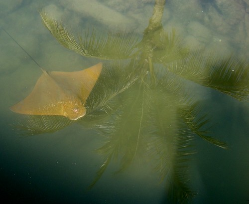 Stingray with reflection of a palm