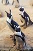 Penguin Call (Lauren Barkume) Tags: africa vacation southafrica december ct capetown westerncape 2011 laurenbarkume gettyimagesmeandafrica1