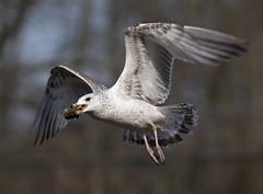 It won't crack open! (pheαnix) Tags: bird minolta g gull sony ngc flight apo 300mm tc delaware f4 hs 14x a700 beckspond mygearandme ringexcellence dblringexcellence tplringexcellence