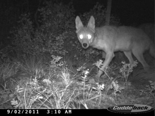 Photo - Coyote