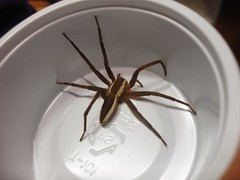 Dolomedes angustivirgatus (water spider) (BroodKeeper) Tags: spider waterspider
